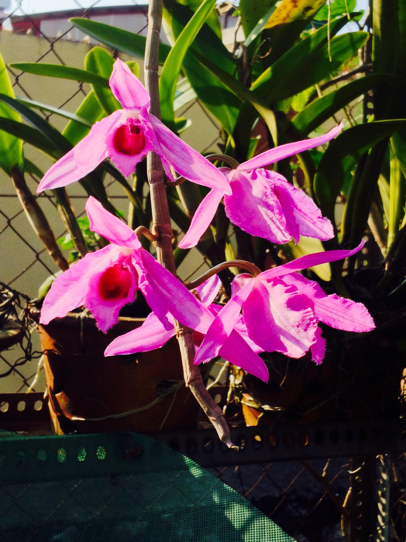 Bunga Anggerik atau Orkid Tanamannya